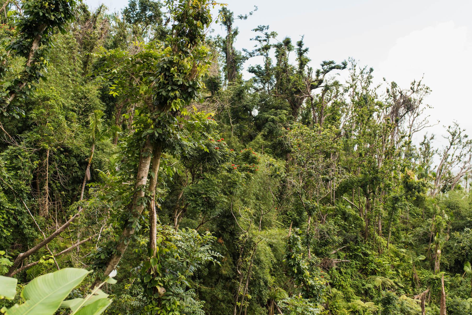 lush foliage in el yunque rainforest
