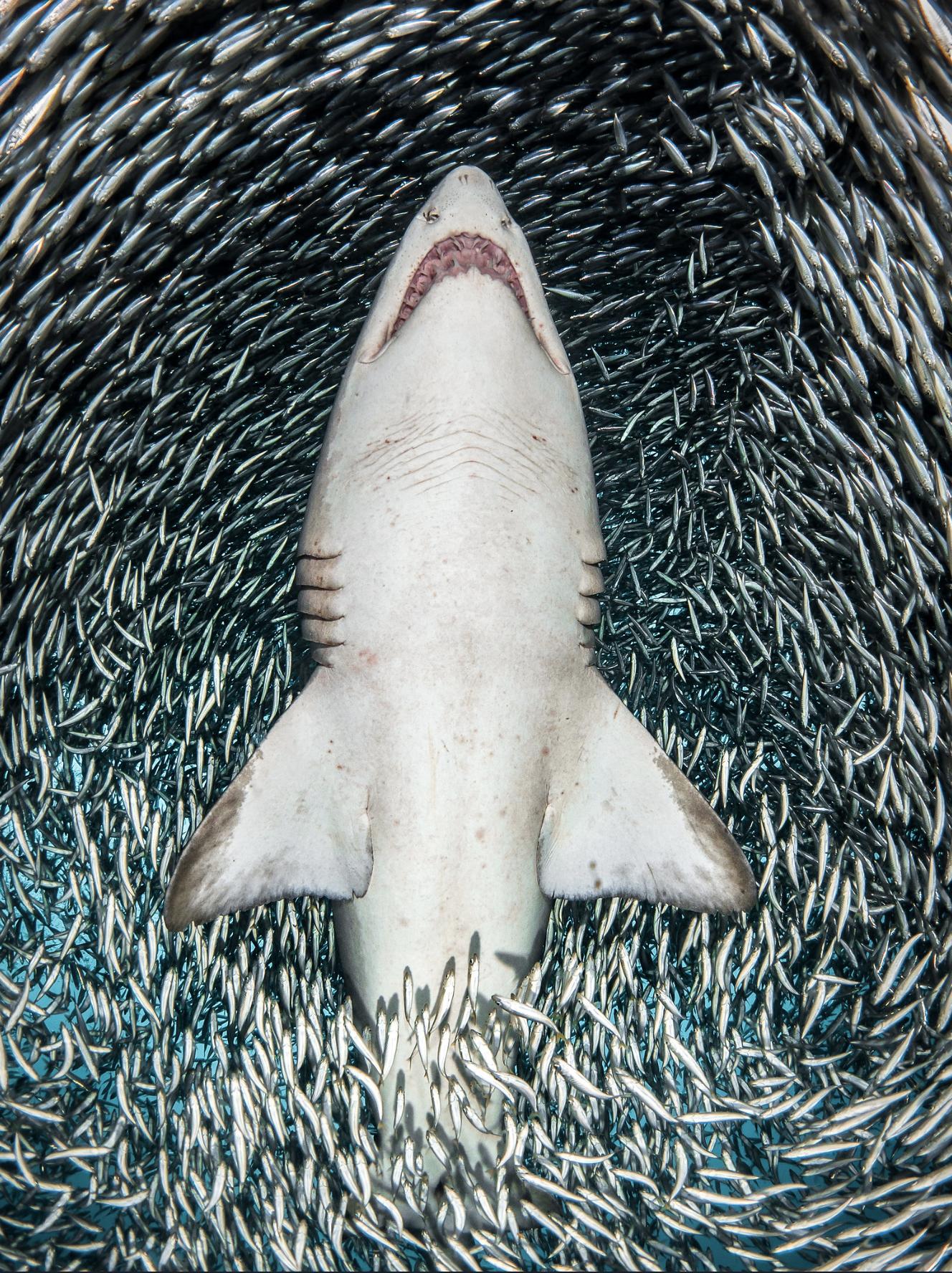 Shark by Tannya