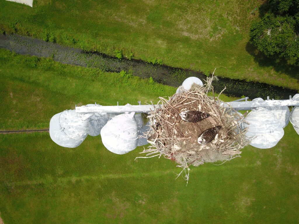 osprey nest on light pole